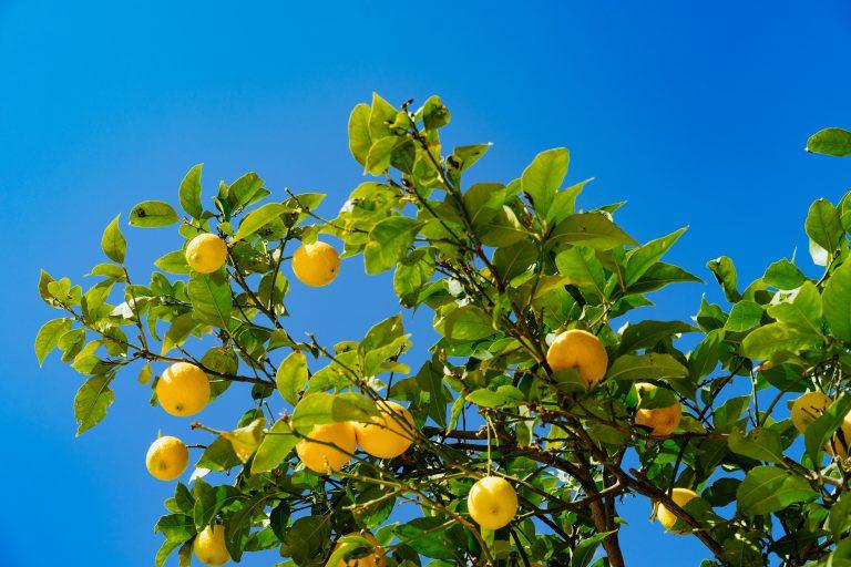 Albero di limoni all'Airstream Prak dell'Isola di Procida